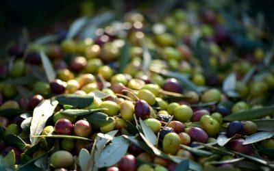 ¿Sabías que Chile es un importante exportador de aceitunas?